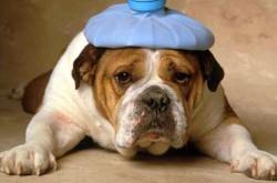 Что делать, если началась рвота у собаки?